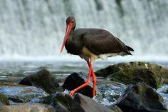 Bocian czarny Birds, Animals, Animales, Animaux, Bird, Animais, Animal