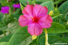 #Wunderblume #Mirabilis #jalapa http://www.florilegium.de/blog/pflanzen/blumen-im-garten/die-wunderblume-mirabilis-jalapa.html