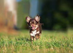 26135eda8279 Der kleinste Hund ist ein Chihuahua namens Heaven Sent Brandy. Ihr Gewicht  beträgt 900 Gramm
