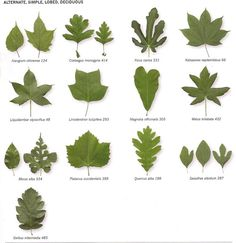 Michigan Tree Identification By Leaf Identify Trees Their Leaves