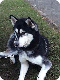 Medford, OR - Husky Mix. Meet Cisco a Dog for Adoption.