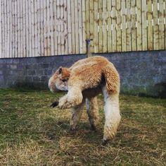 alpaca yoga... #alpacas #northumberland #alpacawalks