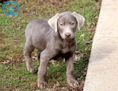 Look at this beautiful Silver Lab pup! He is ready to venture off to his new home and meet his best pal. This fella is social and sure to be the talk of Silver Labrador Retriever, Silver Lab Puppies, Teacup Chihuahua, Pomeranian, Adoptable Beagle, Bull Terrier Dog, Bichon Frise, Baby Dogs, Puppies For Sale