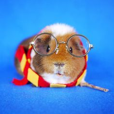 Fuzzberta, A Fashionable Guinea Pig Who Likes to Dress Up in Costume