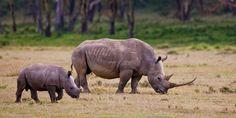 Breitmaulnashörner. © Michael Poliza / WWF