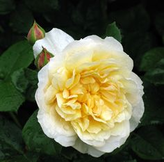 A dewy, lemon-coloured rose from I Tyler of Wigan