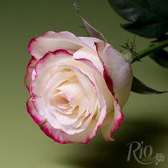 Rio Roses - Sweetness