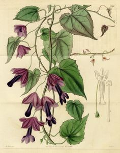 CURTIS BOTANICAL 1834: RHODOCHITON, No.3367; Double Hand-Colored Engraving