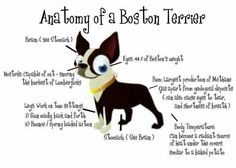 Anatomy of a Boston Terrier This is pretty funny and 100% true :D