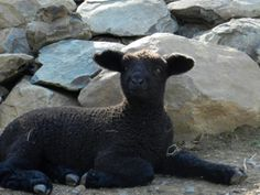 Romney lamb from Solitude Wool Spring Lambs, Solitude, Yarns, Panther, Sheep, Wool, Animals, Animales, Animaux