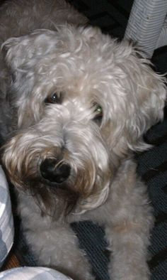 soft Coated Wheaton terrier...Summer. This one looks JUST like my Murphy!! Love my wheatie!!