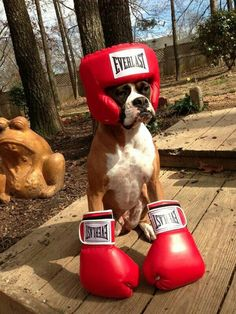 A boxing boxer? #Boxer #Dog #Fighting #Funny #Love