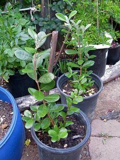 Растение готовое к обрезке Выращивание фейхоа в домашних условиях