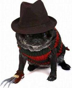Freddy Krueger pug. He'll haunt your nightmares, mwhahaha!