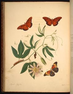 Illustration of Lepidoptera taken from 'The Natural History of the Rarer Lepidopterous Insects of Georgia' by John Abbot, James Edward Smith.  Published 1797 for J. Edwards.