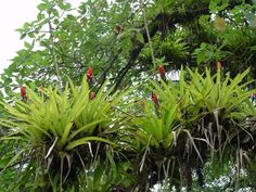 Epiphytic bromeliads that grow on the limbs of large tropical rainforest trees.