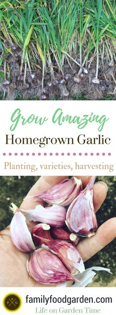 Grow Vegetables The BIG Guide to Growing Garlic ~Family Food Garden - When should you plant garlic? Planting garlic bulbs in the fall is better for growing garlic. Growing Veggies, Planting Vegetables, Growing Herbs, Organic Vegetables, Growing Gardens, Vegetable Gardening, When To Harvest Garlic, When To Plant Garlic, Garlic Sprouts