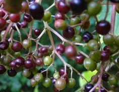 erbe aromatiche officinali: SCIROPPO DI SAMBUCO e MARMELLATA