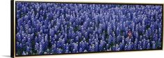 Canvas with Floating Frame entitled Blue Bonnets Texas Hill Country TX, Gold