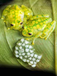 Frog family. Centroléné de Fleischmann. (Hyalinobatrachium fleischmanni). Peau transparente sur le ventre. Série de taches jaunes sur le dos. Iris doré aux pupilles horizontales. Elle repose souvent sur la face inférieure des feuilles échappant ainsi â la vue.Elle mesure de 2 â 3cm.Elle vit en Amérique Centrale et au nord de l'Amérique du Sud. Elle est nocturne. Guide nature Larousse.