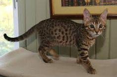 Image result for serengeti cat