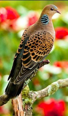 Pictures of Pigeons and Doves: Speckled Pigeon All Birds, Cute Birds, Pretty Birds, Little Birds, Beautiful Birds, Animals Beautiful, Cute Animals, Exotic Birds, Colorful Birds