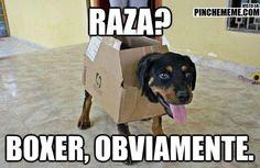 0344-RazaBoxer.jpg (564×368)