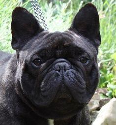 Francisco du Terroir de Fontfroide, franse bulldog reu, vader van de teefjes : Xavi, Fabri, Kuzco en Endless Dream( Messi)