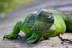 Iguana, Iguana wallpaper, Iguana picture, Iguana photo - Animal ...