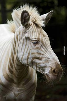 This is Zoe. The only White Zebra left on the planet.
