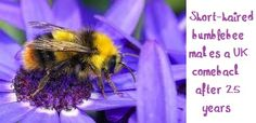 A landmark project to reintroduce an extinct bumblebee to the UK is celebrating its first milestone after experts confirmed that queens have nested and produced young. Over two years, conservationists have made two releases of short-haired bumblebee queens. They have now recorded seven young worker bees in a four kilometre area -- the first to be seen in the UK for 25 years.  Read more at http://www.theguardian.com/environment/2013/sep/16/short-haired-bumblebee-comeback