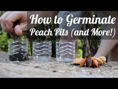 How to Germinate Peach Pits (and Why You Should) - The Grow Network : The Grow Network