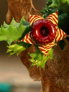 "Succulent (but NOT a cactus) -- per Chrome research.   (""Huernia zebrina."")"