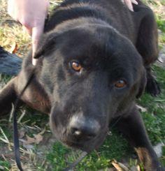 Graham Labrador Retriever  Terrier Mix • Adult • Male • Medium Ozark Humane Society Harrison, AR