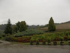 Piove piove a #lafusina sembra novembre, ma le uve sono ancora nella vigna!!