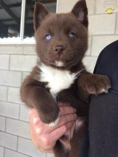 AKC Siberian Husky Male Puppy Solid Black Blue Eyes Ready