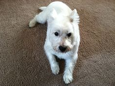 Willy the West Highland Terrier