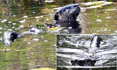 As we walked along the spring, our otter friends stayed nearby to watch us #Nikon #wildlife #photography