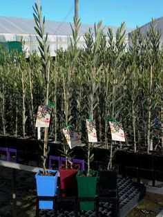 Australis Plants Australian Olive Nursery with over 60 varieties. Need to see if they have a green Sicilcian. Yum.