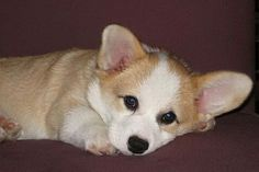 Corgis!!!!! Adorable. Reminds me a bit of my little dog.