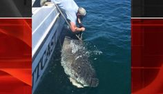 Giant Tiger Shark, 'Big As A Great White,' Tagged Off Hilton Head Coast
