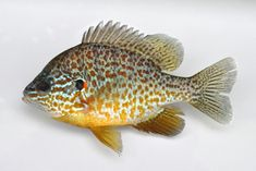 fishing with my family for pumpkinseed sunfish