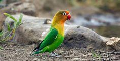 5 Cara Melatih Lovebird seperti Perawatan Lovebird Kusumo