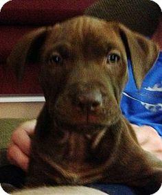 Dayton, OH - American Pit Bull Terrier/Bullmastiff Mix. Meet Marley a Puppy for Adoption.