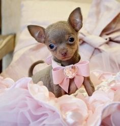 crazy cute animal photos - Pretty pink puppy dog with bows