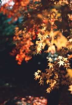 I long for the crisp Autum air and the smell of fallen leaves. I long for golden, brown, and purple leaves cascading from the trees. I long for haunted houses and Halloween candy. I long for Autumn.