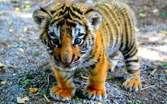 Animales Naturales - Impactantes ojos azules.
