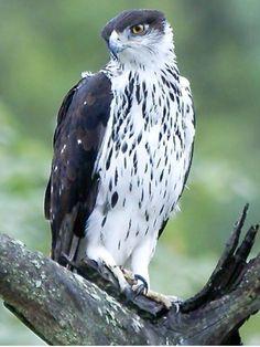 African Hawk-Eagle, Hieracetus spilogaster: kenyabirding.me