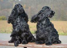 #cockerpuppy Black Cocker Spaniel, English Cocker Spaniel, Pet Dogs, Dogs And Puppies, Pets, Doggies, Field Spaniel, Rottweiler Mix, Huge Dogs