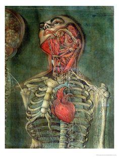 Grabado anatómico de Jacques Gautier D'agoty (1716–1785)